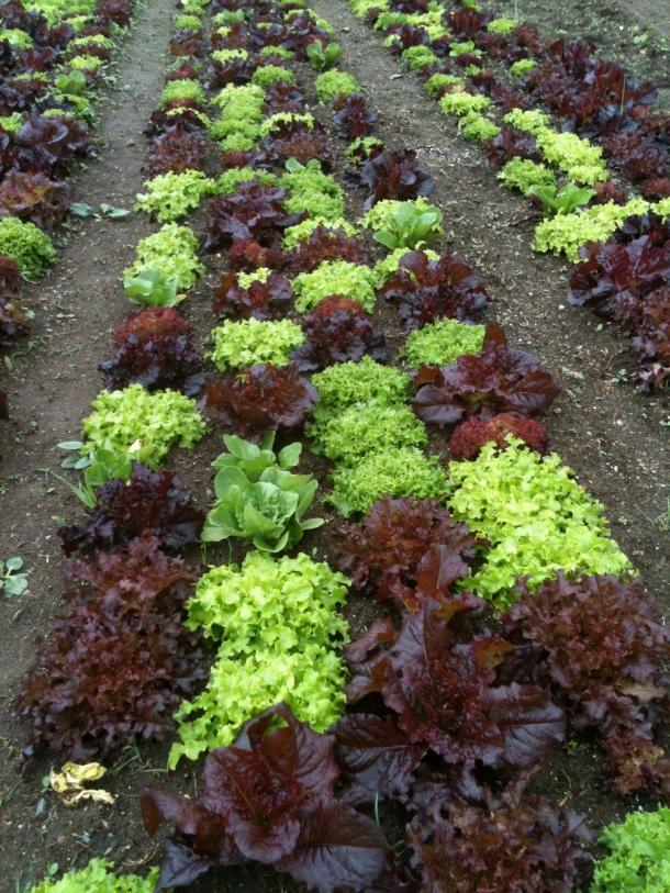 Coonamesset Lettuce
