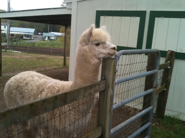 Alpaca deep in thought