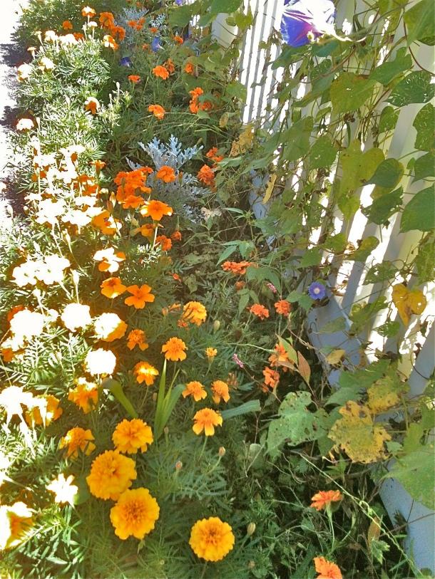 Old faithfuls: marigolds