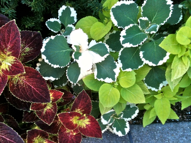 And the simple, but colorful leaves of coleus, never disappoint.