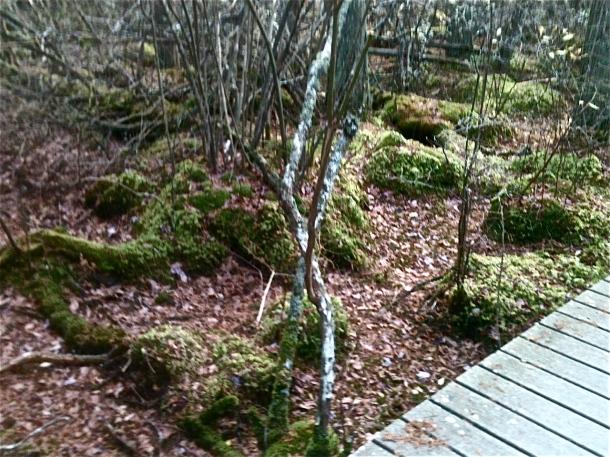 White Cedar Swamp Forest Asleep and Still Green