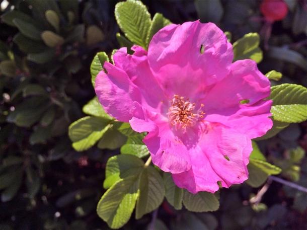 Beach Plum Blossom
